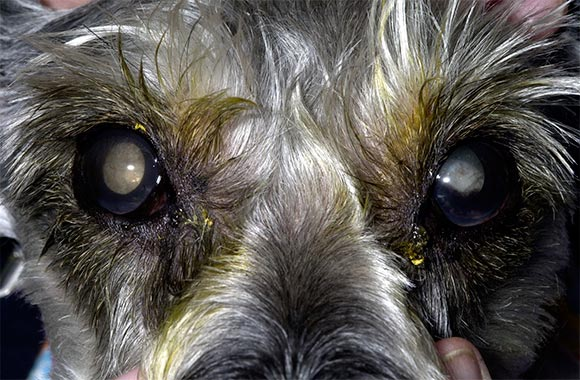 Diabetic Miniature Schnauzer blinded by cataracts. His left eye has a misshapen pupil secondary to lens capsular rupture (Eyelid hair is tinged green due to application to eye of diagnostic fluorescein dye). Photo Courtesy of Dr. Carmen Colitz